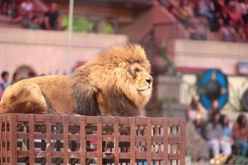 Les lions de Thierry Le Portier