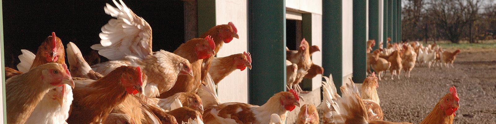 6344, 6344, poules-pa, poules-pa.jpg, 327341, http://www.terrena.fr/wp-content/uploads/poules-pa.jpg, http://www.terrena.fr/gouvernance/comite-strategique/poules-pa/, , 9, , , poules-pa, inherit, 52, 2015-09-14 14:46:56, 2015-09-14 14:46:56, 0, image/jpeg, image, jpeg, http://www.terrena.fr/wp-includes/images/media/default.png, 1600, 400, Array