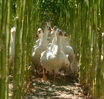 Terrena – Production Palmipèdes gras
