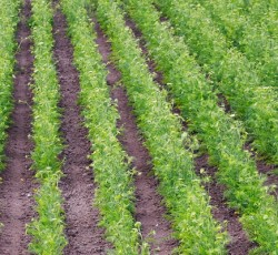 Terrena – Production semences
