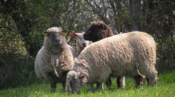 Vous êtes producteur d'ovins ?