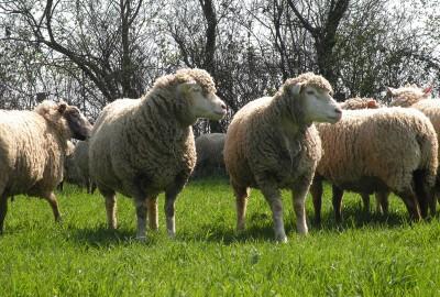 Terrena – Production ovins